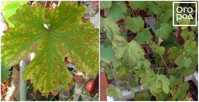 szőlőn vörös foltok a leveleken, mint kezelni pikkelysömör népi gyógymódok viburnum