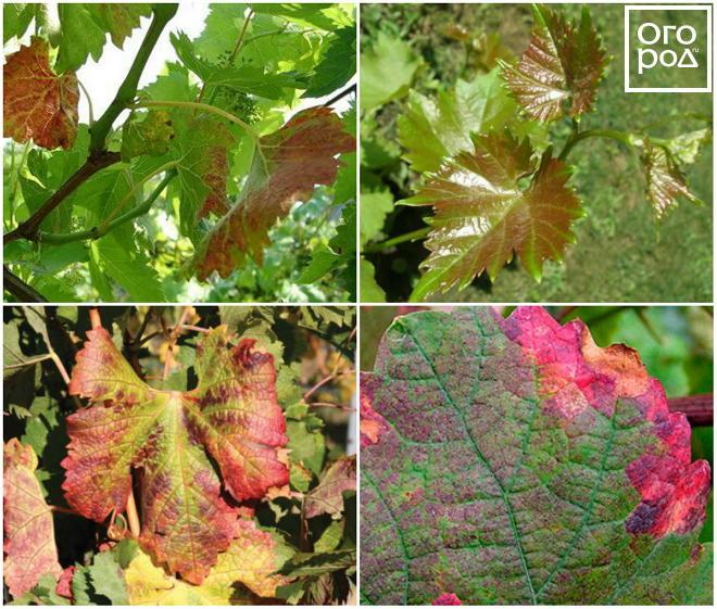 szőlőn vörös foltok a leveleken, mint kezelni apró vörös foltok jelentek meg a bőrön és viszkető fotók