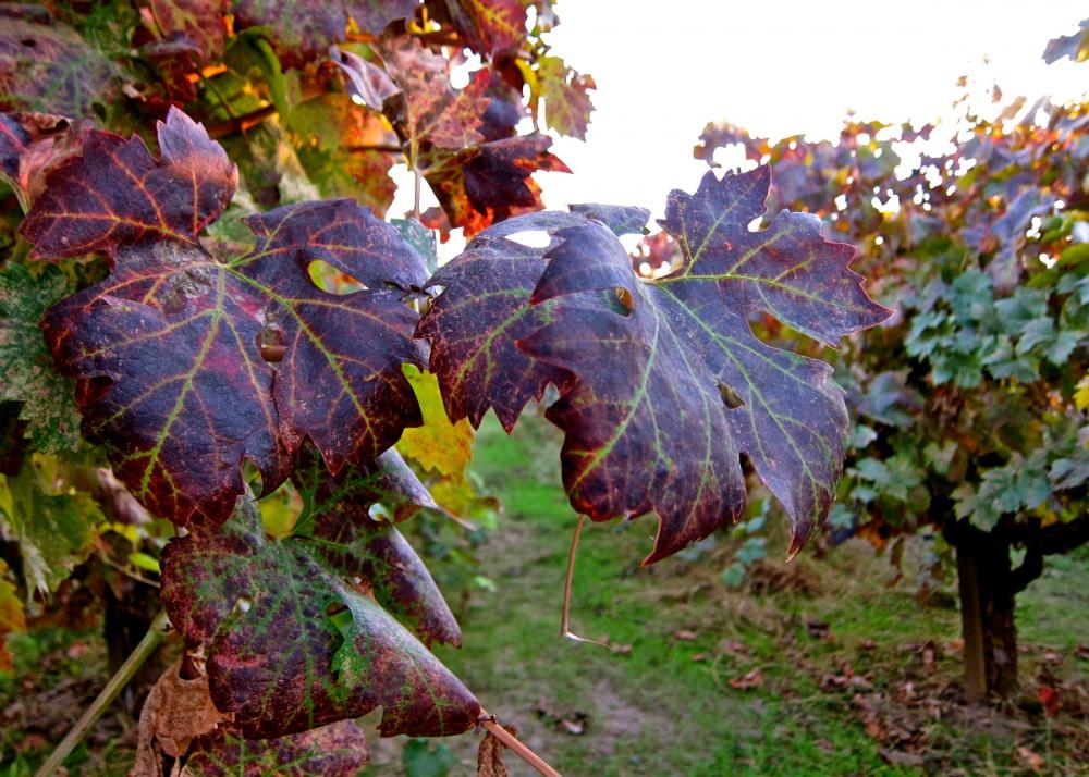 vörös foltok a szőlő levelein hogyan kell kezelni vörös folt a kezén melegebb
