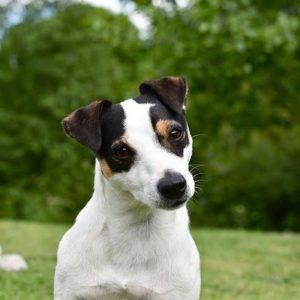 Toy terrier hasán vörös foltok vannak. Jack Russel Terrier