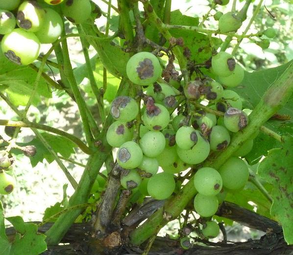 A szőlő korai tőkeelhalás betegségei