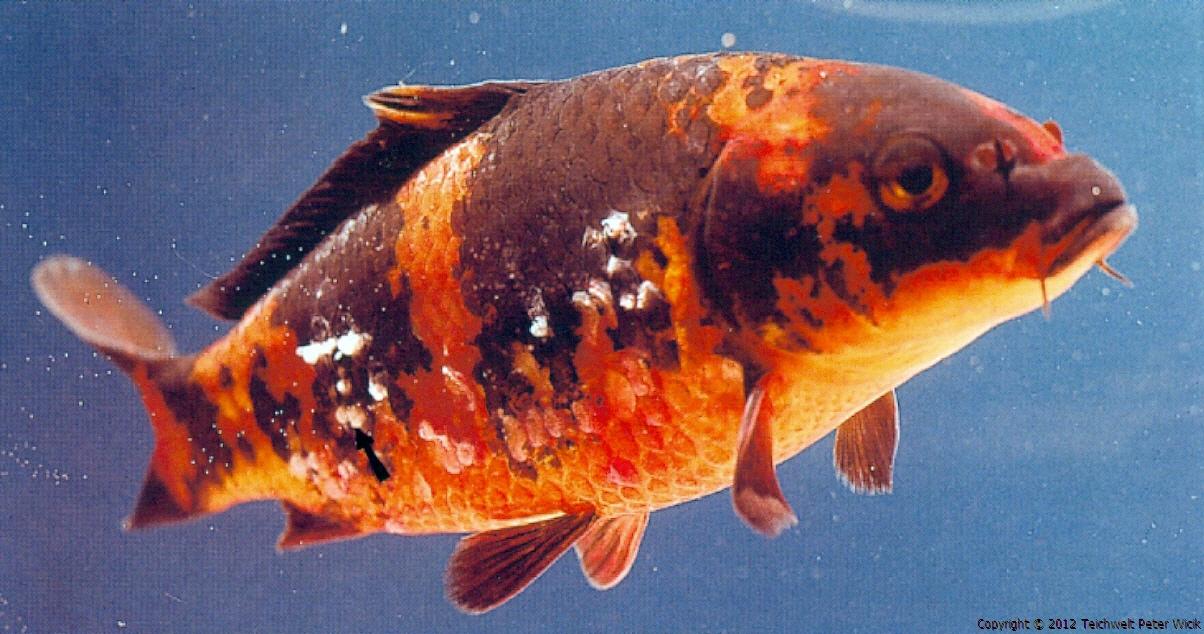A leggyakoribb halbetegségek, amit egy akvaristának ismernie kell