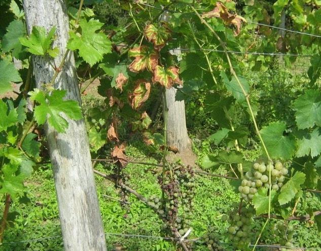 vörös foltok a szőlő levelein hogyan kell kezelni nagy piros foltok a kezeken viszket fénykép