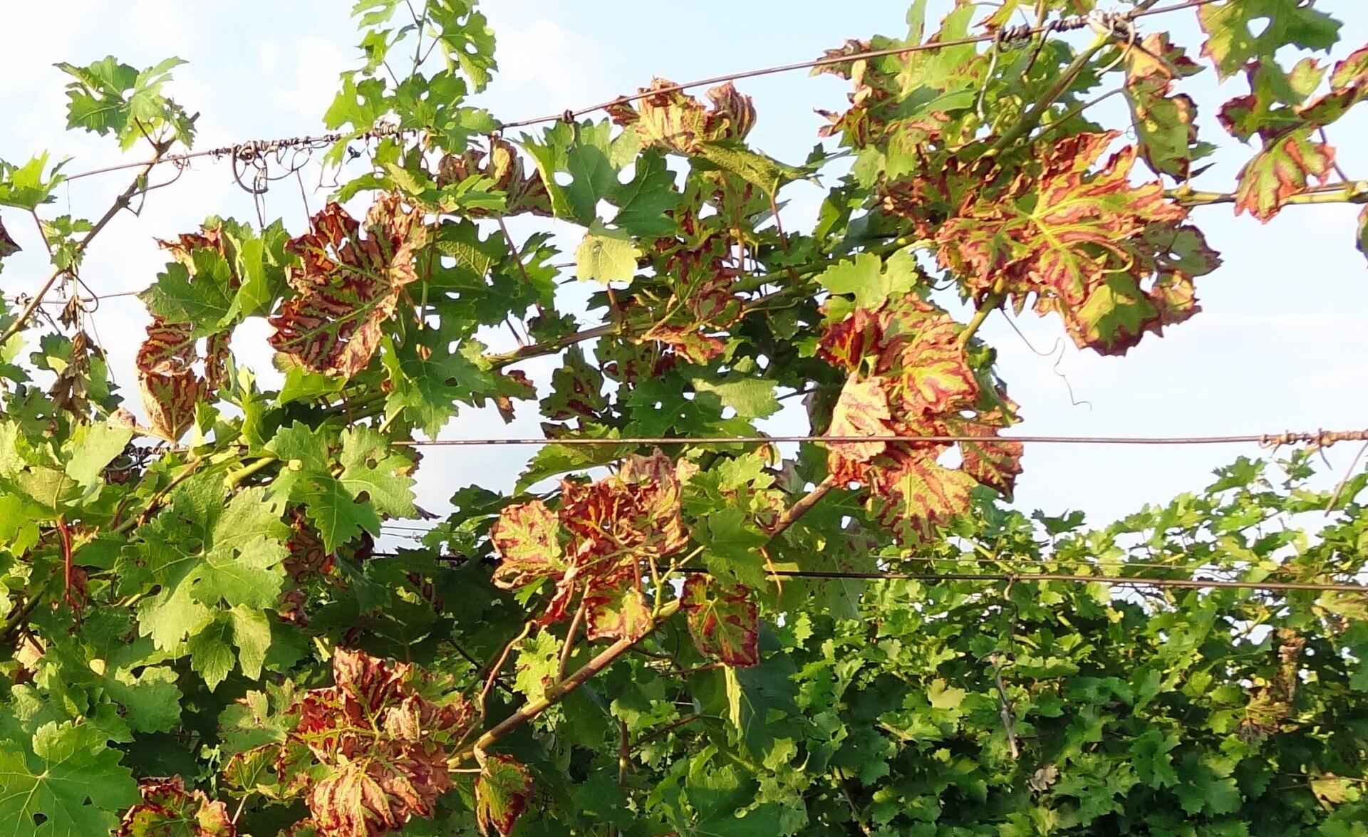 vörös foltok a szőlő levelein hogyan kell kezelni vörös pillangó alakú foltok az arcon